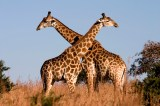 Giraffes Make an Impressive Comeback in Niger