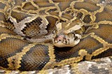 Shocking pictures show South African Pastor feeding people snakes