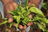 Khat in the Horn of Africa – A Scourge or Blessing?