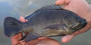 Lethal Virus Attacks Tilapia Fish