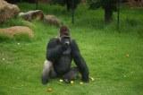 Africa's mountain gorilla population now exceeds 1,000