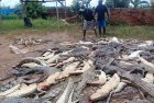 Indonesia villagers butcher hundreds of crocodiles in revenge attack