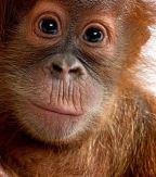https://i0.wp.com/www.african-safari-journals.com/image-files/orangutan-pictures.jpg?resize=144%2C163