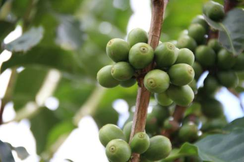 Coffee beans growing on the farm