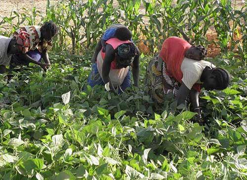 raccolta-di-fagioli-in-africa
