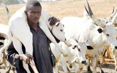 trasporto-mucche