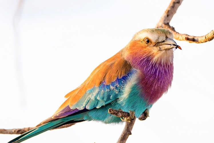 Bird and wildlife photography make for totally different photography genres. A lilac-breasted roller with a tasty morsel