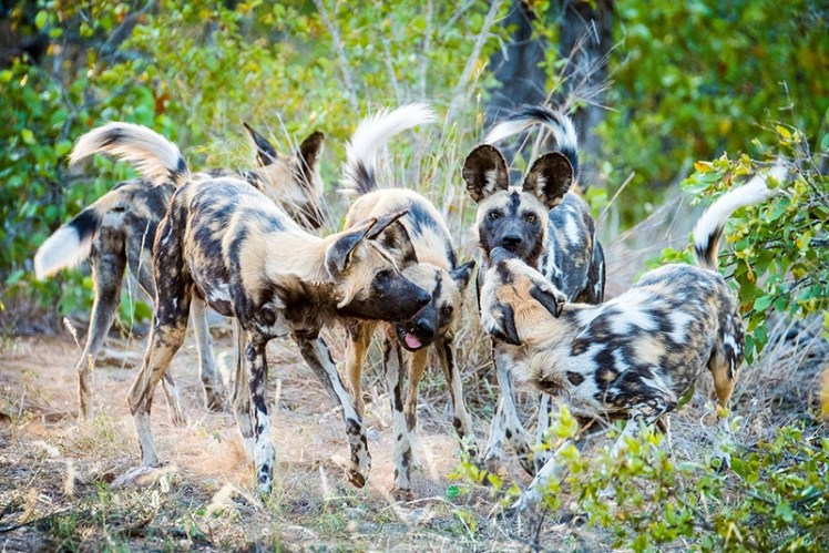 The endangered wild dogs