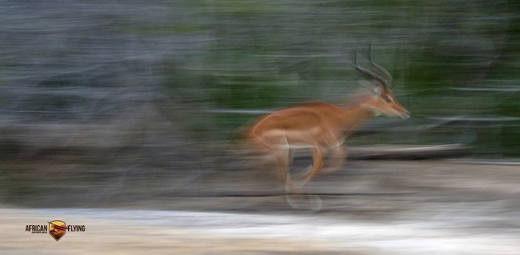 Impala ram caught running - Panning shot