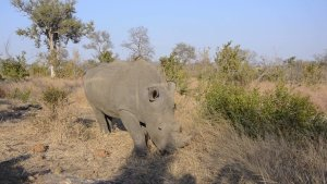 Rhino male feeding at termite mound