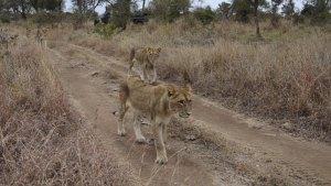 Lion Pride Strolling Past