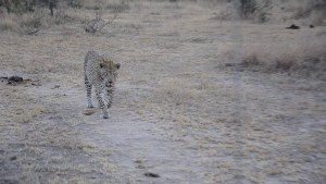 Big male leopard walking past
