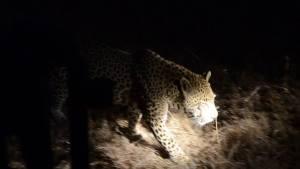 Male leopard walking past   night