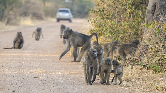 We had to share the road with a troop of baboons