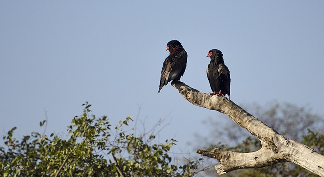 A pair of Bateleur eagles warming up to the day