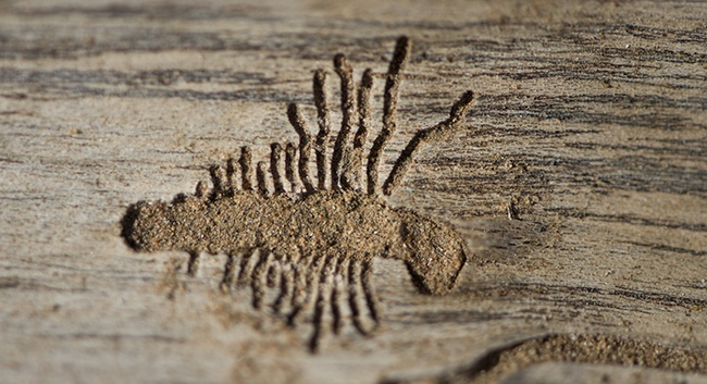 The Bark beetle feeding signs on the inside of a piece of bark