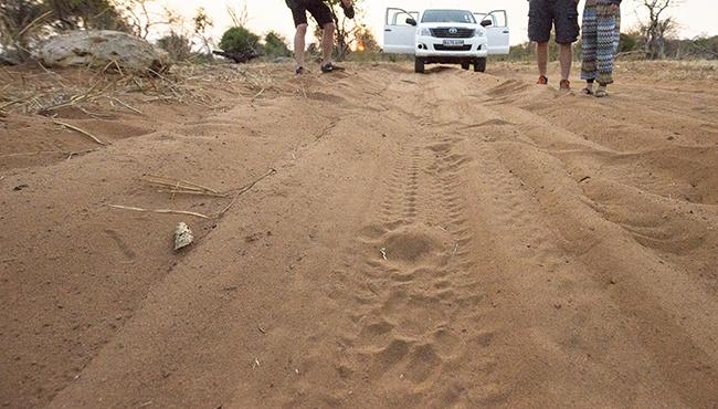 Leeuwsporen op de zanderige weg tijdens onze safari