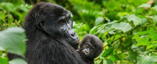 Eastern Gorilla - African Gorilla species