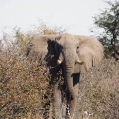 Elephant in Kgalagadi Park- Kalahari desert