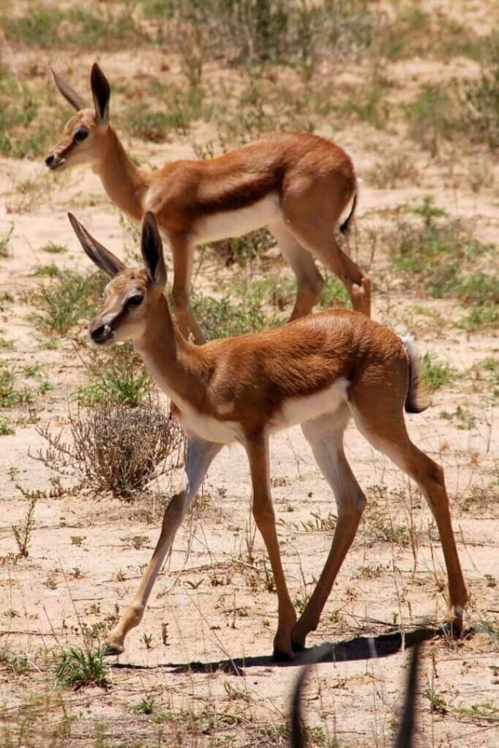The Springbok, Kgalagadi Park- Kalahari desert