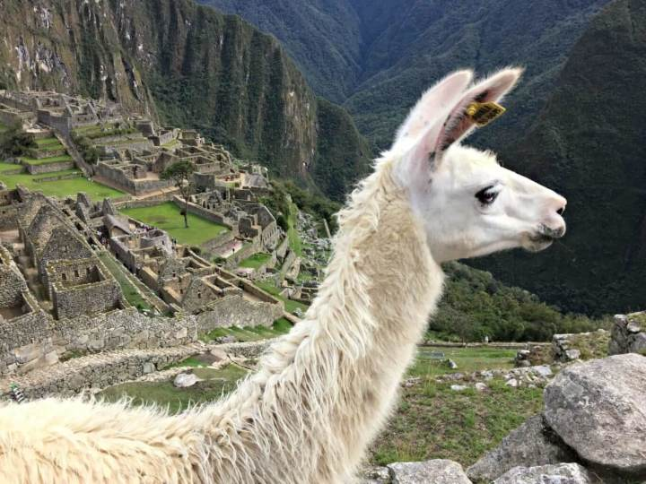 Machu Picchu and its beautiful alpacas.