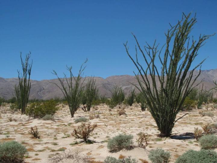 Anza-Borrego Park: The Wildflowers start appearing by January
