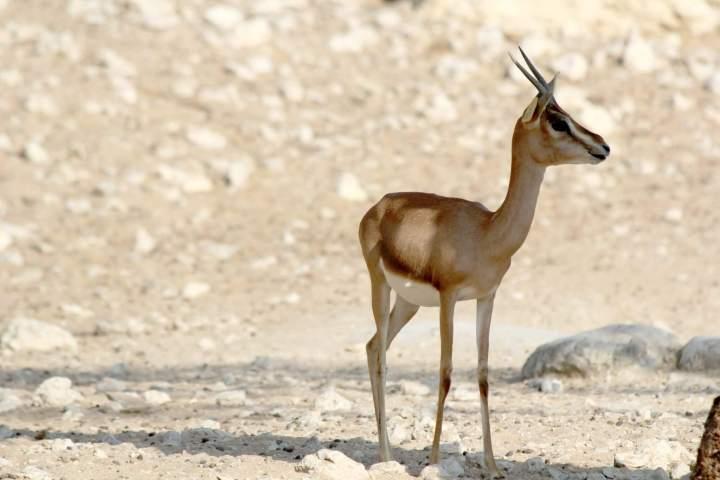 Desert Mammals :Arbian Oryx in Sahara
