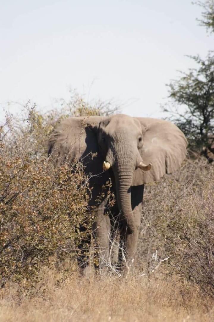 Elephant - Kalahari wildlife