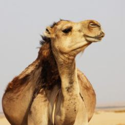 Life is Africa desert: you can't do without dromadrly camel