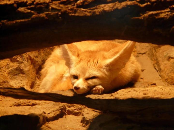 Fennec of Sahara