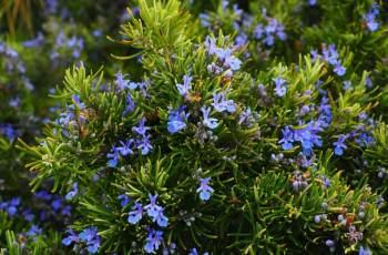 Desert herbs: Rosemary tree or Laurus nobilis