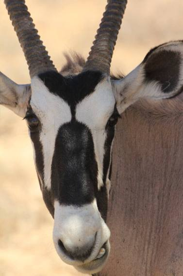 Gemsbok of Kalahari with it impressive horns