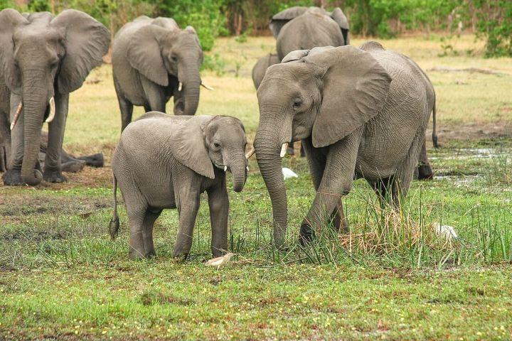 Luxury vacation:Elephants in wildlife,Botswana