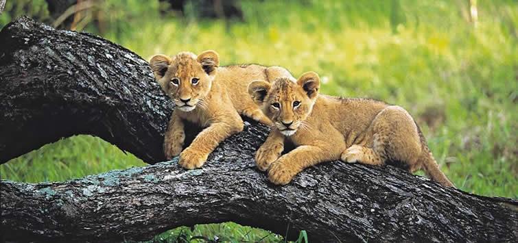 masai mara cubs
