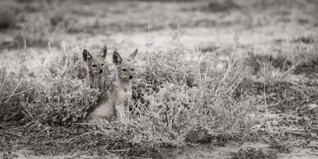 Wildlife Photos of Jackals in Namibia