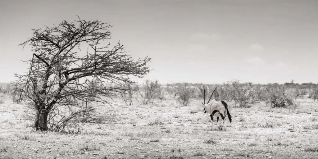 Photo of Oryx in Namibia