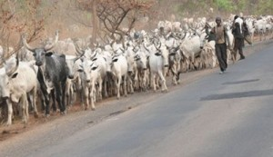 Nigerian Cattle Breeders Want Buhari To End Cow Rustling