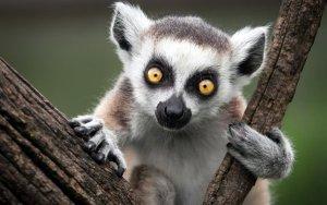 Madagascar: lemuri e baobab