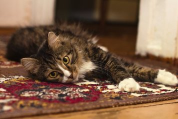 cat laying on carpet