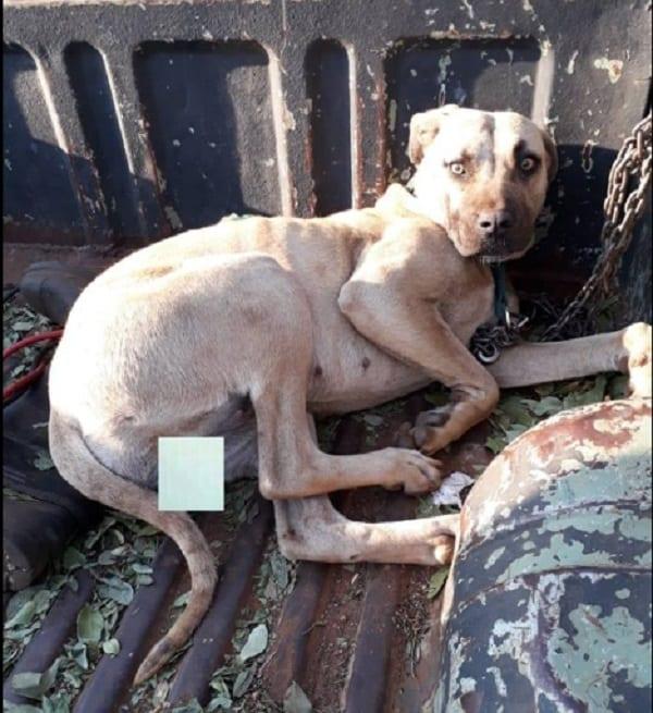 Insolite: Une chienne sauvée après avoir été ligotée et violée par un groupe d'hommes