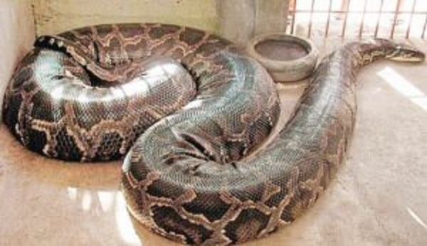 Nigeria: Enugwu Ukwu, la ville où les humains vivent en harmonie avec les pythons