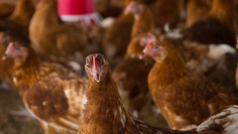 Quality Point-of-Lay Hens (High Potentials)