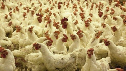 How to Start a Broiler Farm in Nigeria