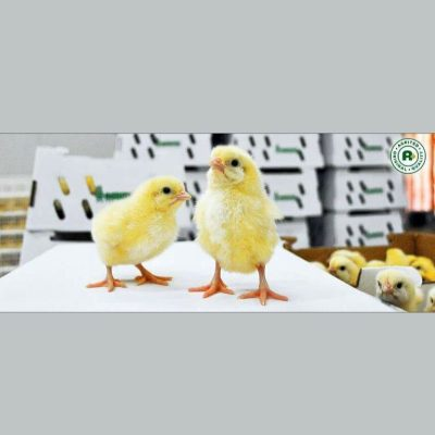 agrited-broiler-day-old-chick