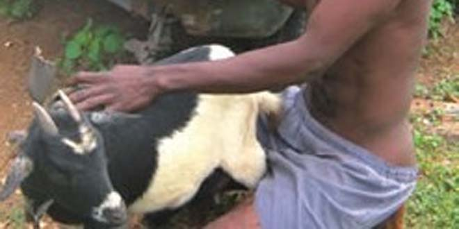 "Photo of Malawi: Man arrested for sleeping with a goat,""but I took permission"""