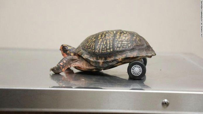 Disabled Pedro is the fastest turtle on two... wheels