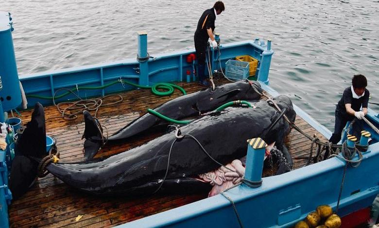 Photo of Japanese ships are ready to catch 'delicacy' whales again