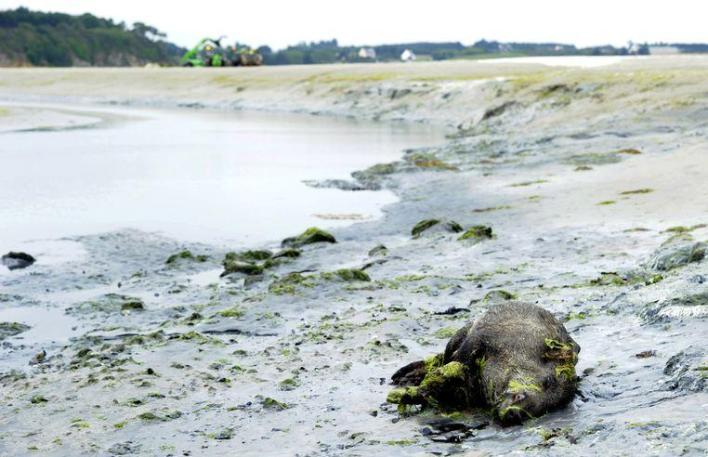 "Toxic algae plague Breton beaches: ""They can kill you in seconds"""