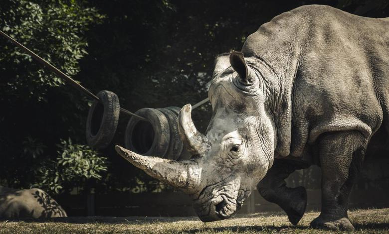 Photo of Oldest black rhino in the world died in Tanzania