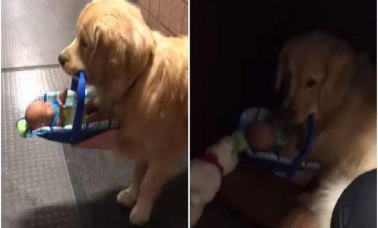Photo of Cute: therapy dog steals toys at the police station